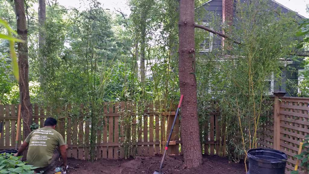 bamboo ornamental plant landscaping