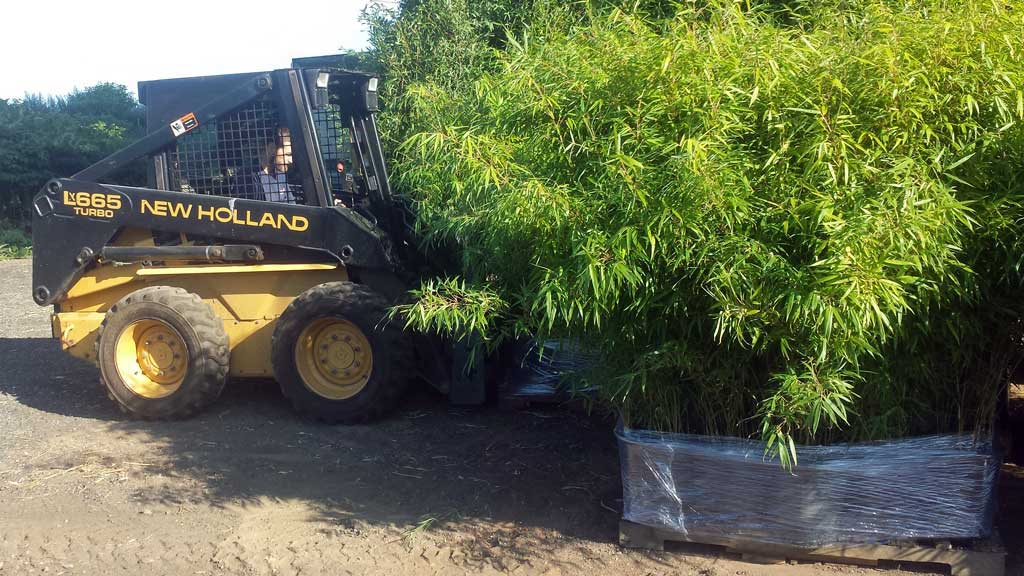 bamboo plants for sale new jersey