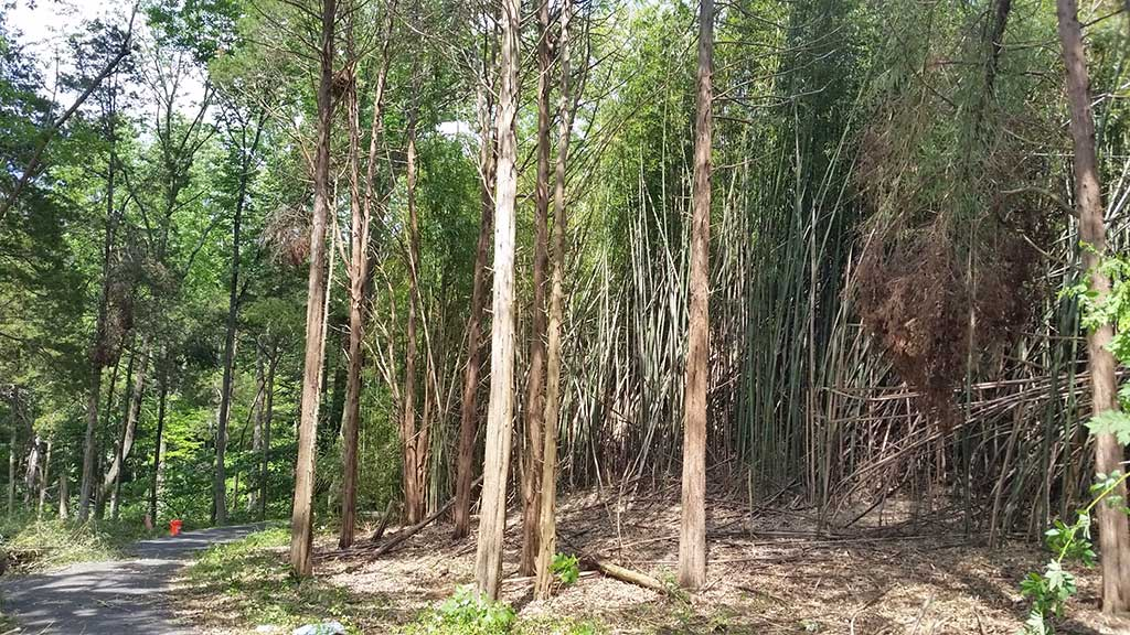 Bamboo Removal Bucks County PA