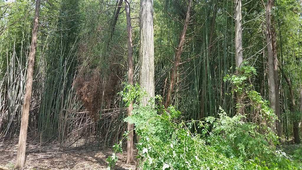 bamboo removal Pennsylvania