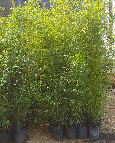 phyllostachys bissetii bamboo