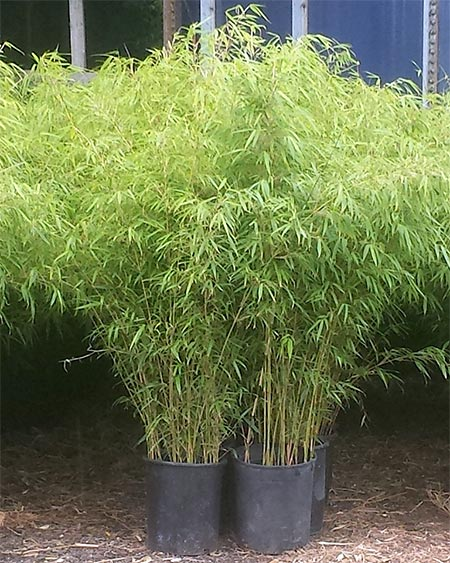 Bamboo Plants For Sale - NJ Bamboo Landscaping