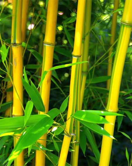Spectabilis Bamboo Plant Sale