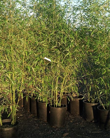 Bamboo plants for sale nj landscaping